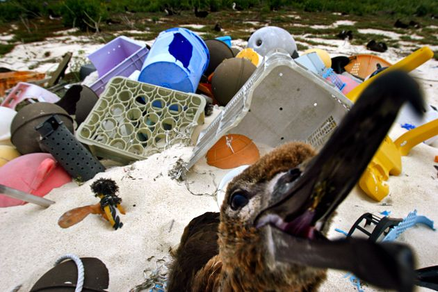 Albatrosses have become a bellweather species for the plastic pollution problem, ingesting the material...