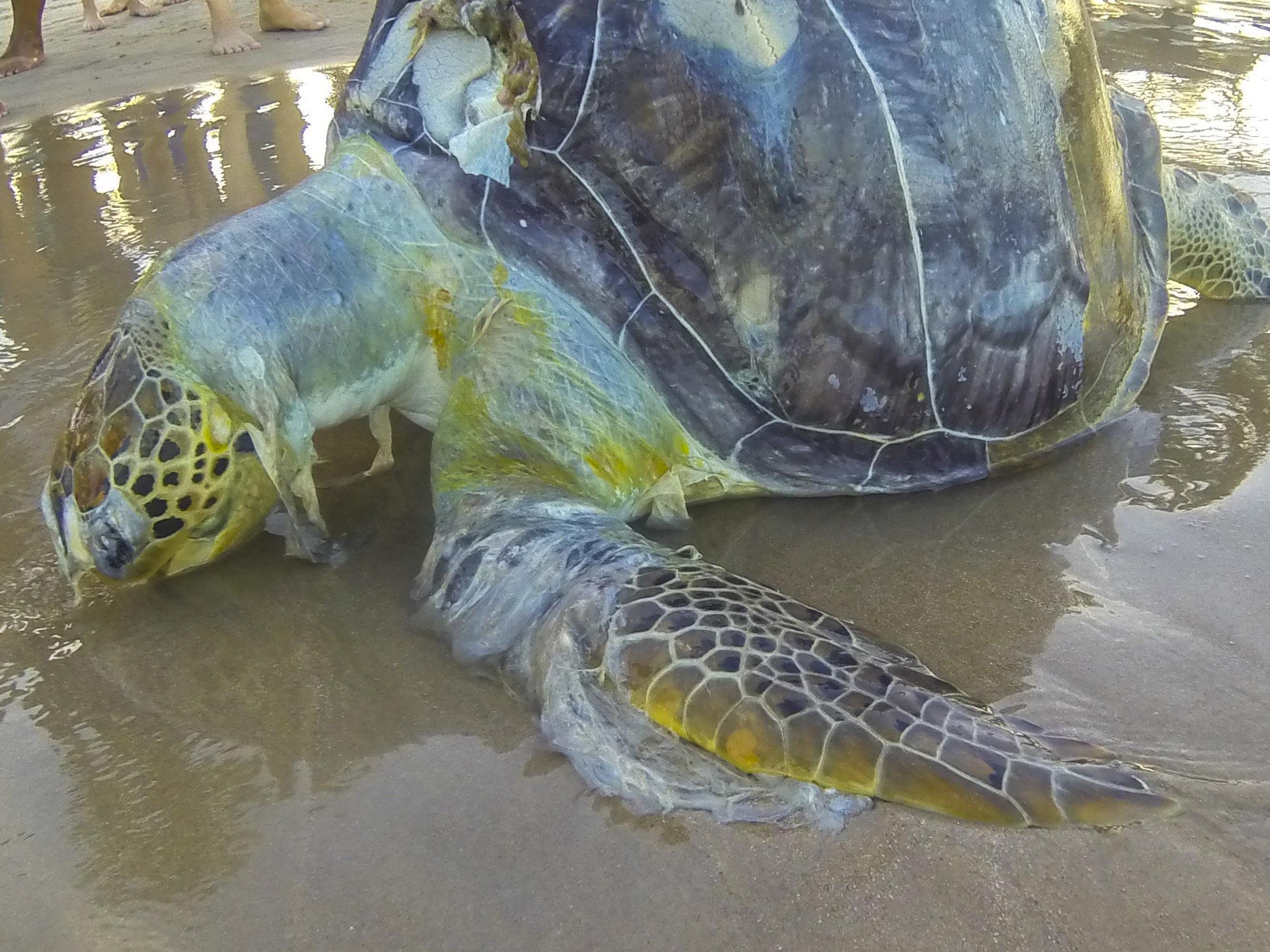 A dead sea turtle draped in plastic trash.