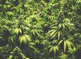 Cannabis Is Able To Reverse Ageing In The Brain