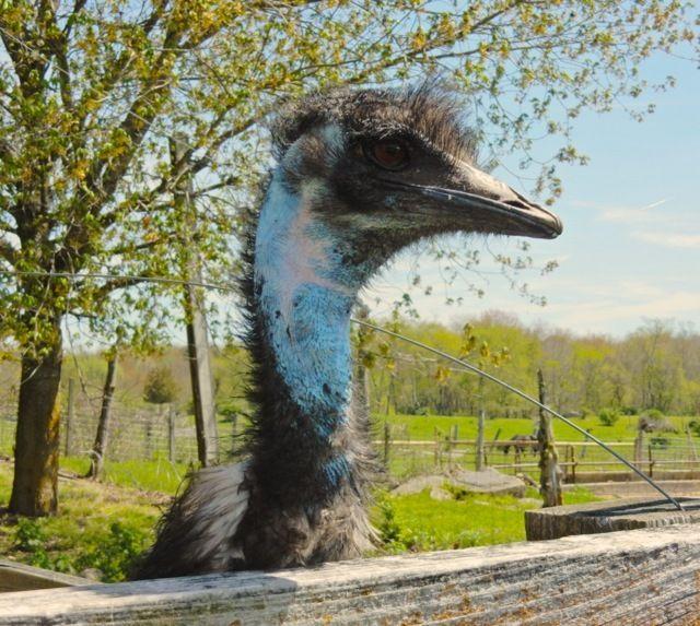 Emu, Creamery Brook Bison, Brooklyn CT