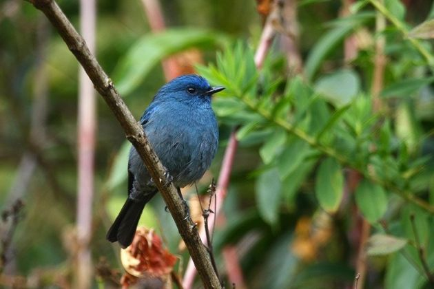 The Nilgiri flycatcher is considered