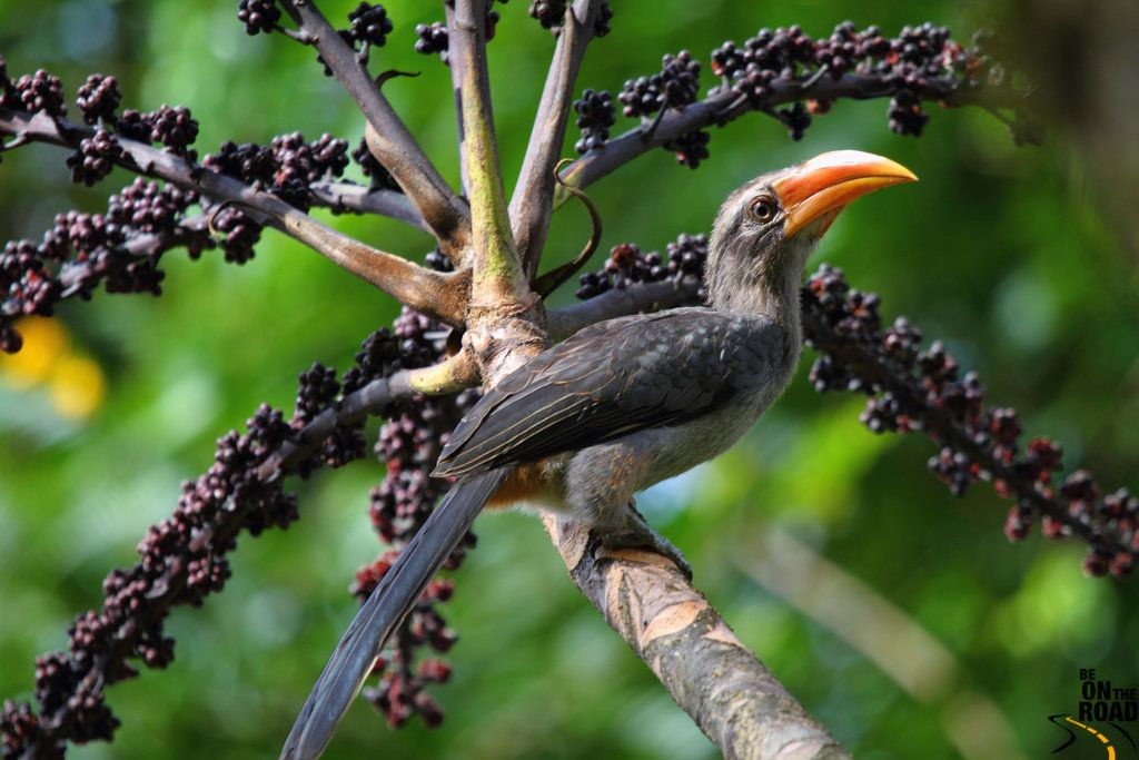 The Malabar grey hornbill is considered a species of