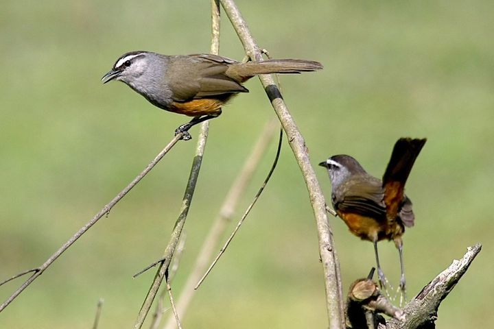 "The Kerala laughingthrush should be considered ""endangered,"" said Columbia researchers. Its current status in the IUCN Red Li"