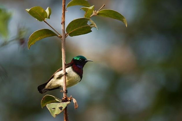 In the case of the crimson-backed sunbird, Columbia researchers agreed with the IUCN's