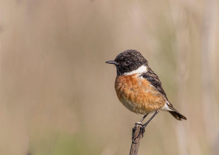 "The IUCN listing for the black and rufous flycatcher should be elevated from ""near threatened"" to ""vulnerable,"" recommended t"