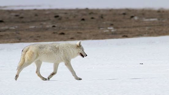 White wolf trots across a snowfield in Yellowstone