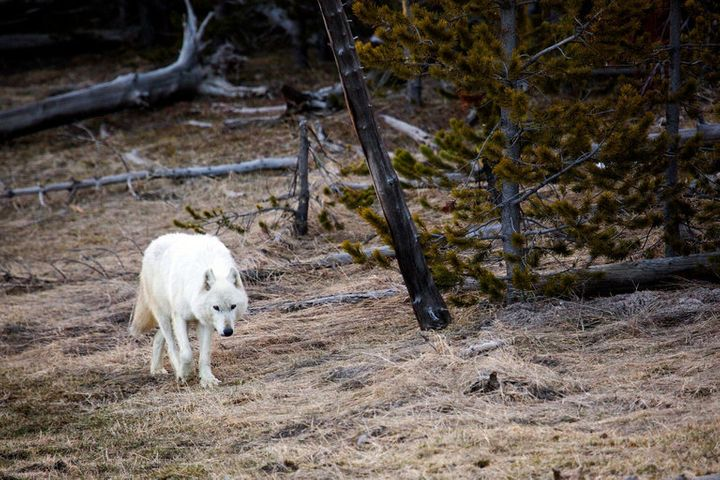 White wolf tracks a scent in Yellowstone National Park.