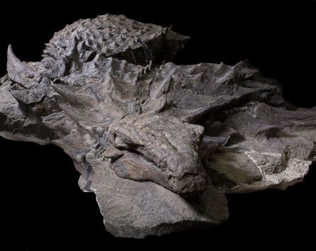 A 110-million-year-old fossil of an armored plant-eating dinosaur called a nodosaur is seen after its...