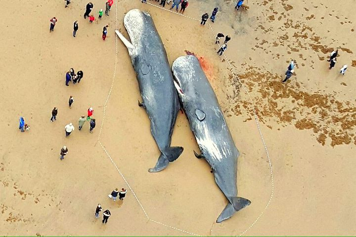 Dead sperm whales found with plastic in their stomachs