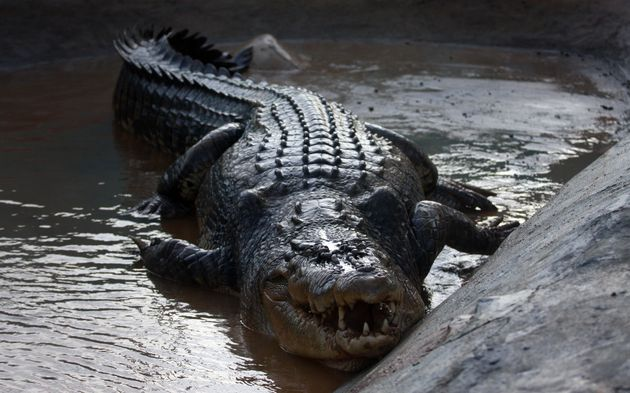 Saltwater Crocodiles are Earth's current champions with a bite force of around 3,600