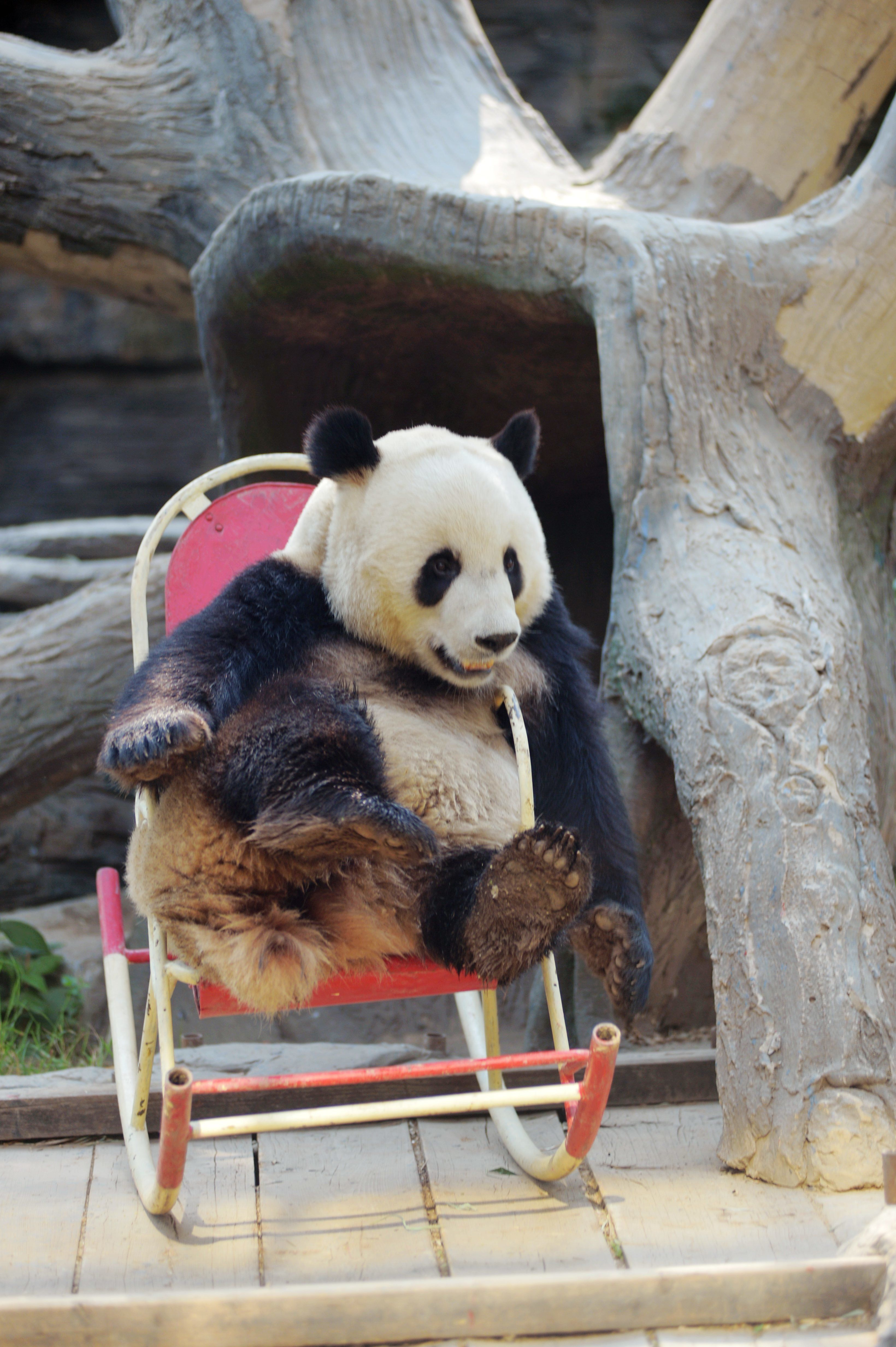 BEIJING, CHINA - MAY 17:  A giant panda plays in a rocking chair at Beijing Zoo on May 17, 2017 in Beijing, China.  (Photo by VCG/VCG via Getty Images)