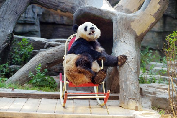 A giant panda plays in a rocking chair at Beijing Zoo on May 17, 2017 in Beijing, China.