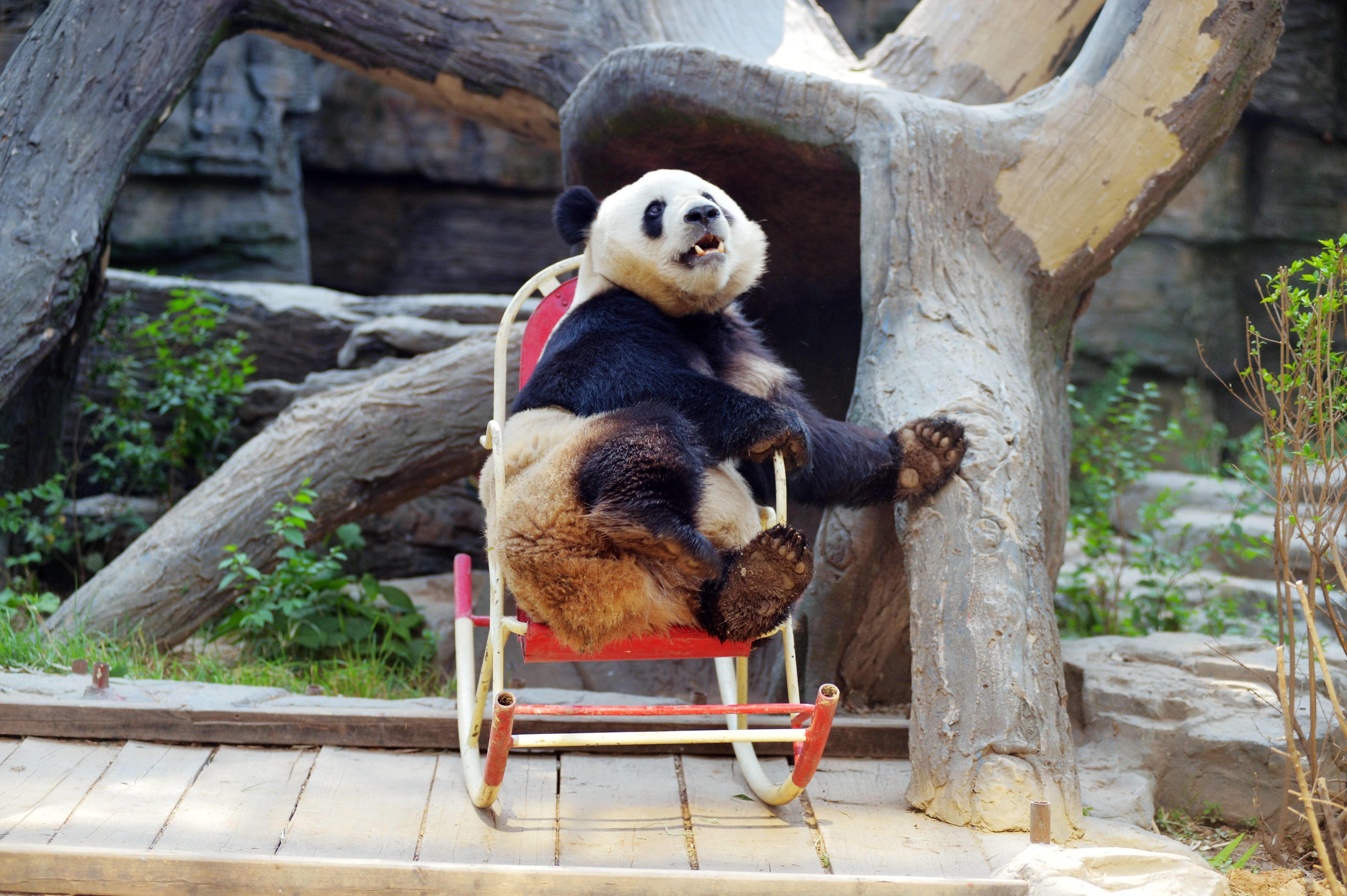 A Giant Panda Plays In A Rocking Chair At Beijing Zoo On May 17, 2017