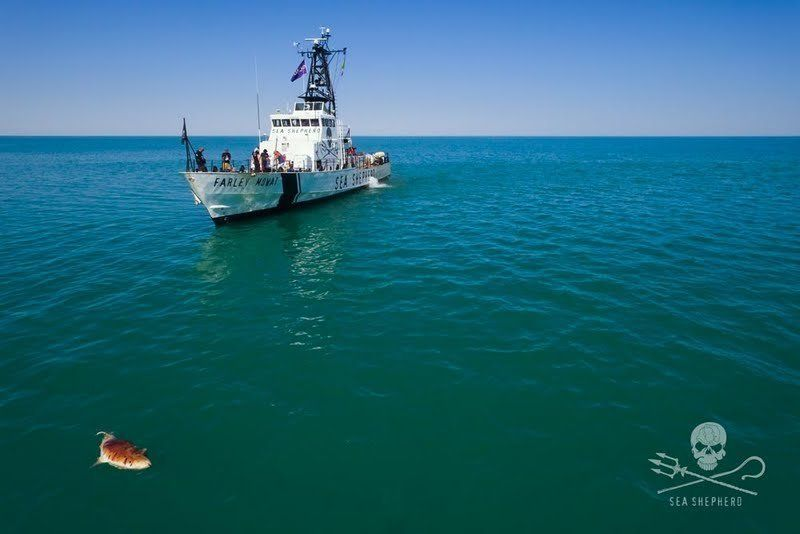 A Sea Shepherd vessel pictured near a floating dead vaquita in the Gulf of California.