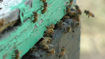 Bees swarming around a beehive