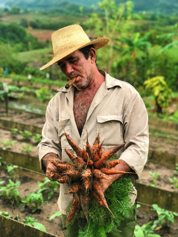 A farmer in Vinales picks carrots for a local restaurant