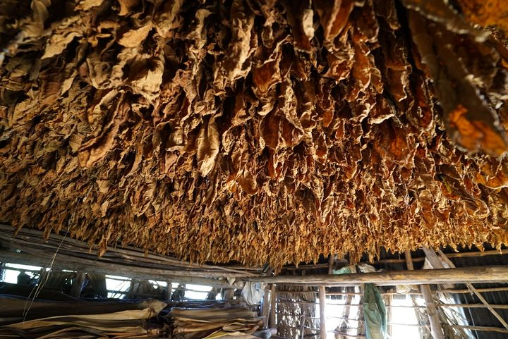 <p>Tobacco leaves dry before becoming cigars</p>