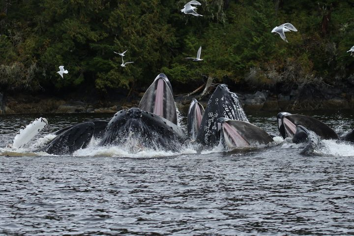 Humpback whales getting a feed.