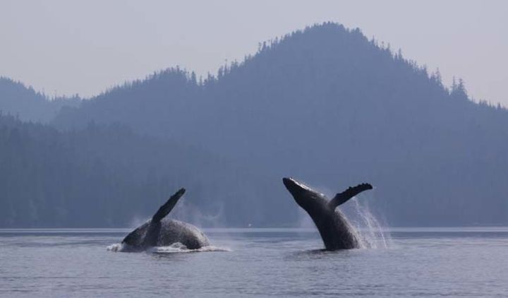 Humpback whales breach.