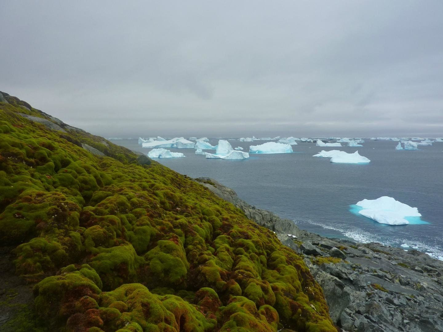 Moss, as seen on this bank on Green Island in the Antarctic Peninsula, has been growing in...