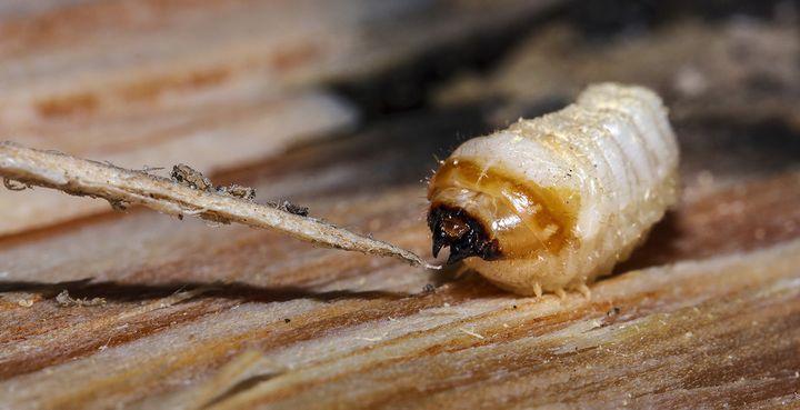 Larvae of longhorn beetle feeding on pine stump.