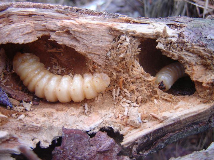 Huhu beetle (<em>Prionoplus reticularis</em>) larvae contribute to the decomposition of dead pine wood.