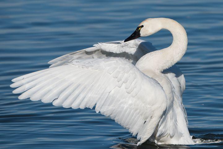 Tundra Swan.