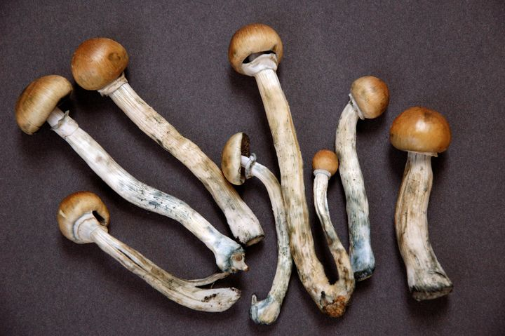 Recreational drug users around the world consume dried mushrooms like these, which contain psilocybin.
