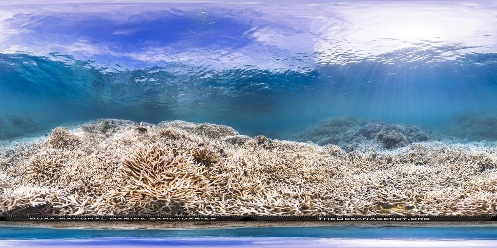 The staghorn coral population in the Airport Pool area off the island of Tutuila, American Samoa, suffered massive damage during a 2015 bleaching event.