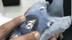 Pigeon Grounded After It's Caught Smuggling Drugs In Tiny