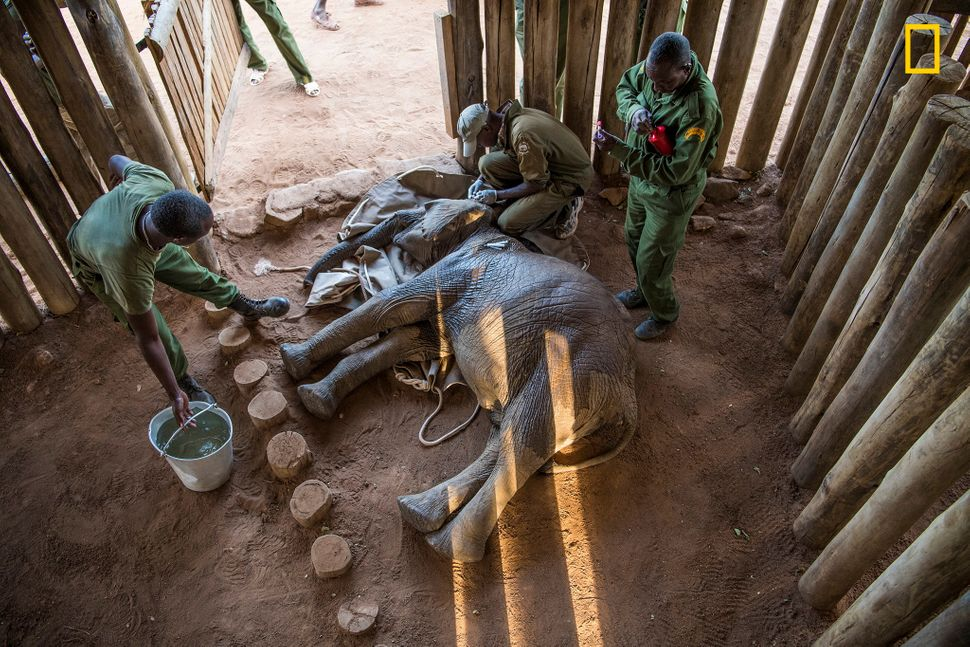 Mathew Mutinda, a vet with the Kenya Wildlife Service, crouches over 18-month-old Mugie, still sedated after his rescue. His