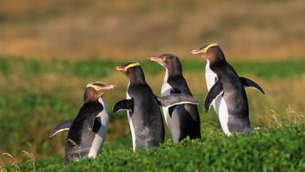NEW ZEALAND - 2004/01/01: Subantarctic New Zealand, Auckland Islands, Enderby Island, Yellow-eyed Penguins. (Photo by Wolfgang Kaehler/LightRocket via Getty Images)