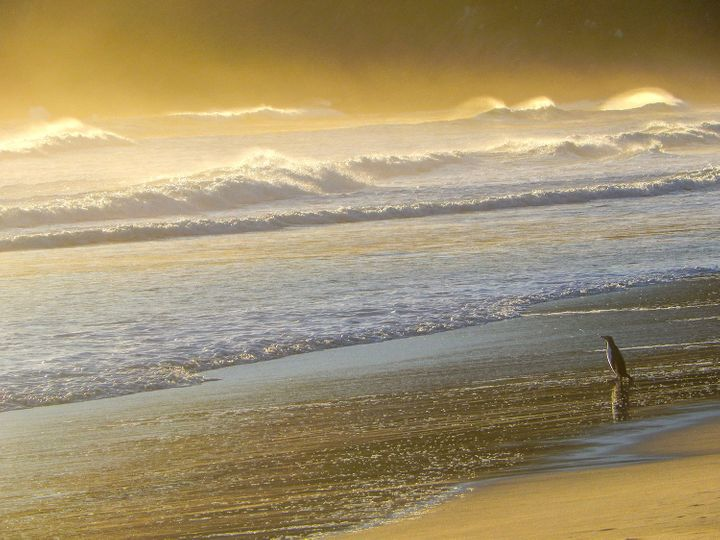 A yellow-eyed penguin on the Otago Peninsula stares out at the ocean.