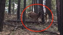 WATCH: Mama Elk Fights Off A Bear To Save Her