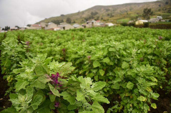 A field of green quinoa.