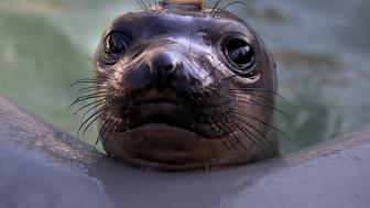 SAUSALITO, CA - APRIL 20:  An Elephant Seal pup sits in a pool at the Marine Mammal Center on April 20, 2017 in Sausalito, California. The Marine Mammal center has seen a surge in orphaned and injured Elephant Seal pups following heavy storm activity and rough surf that could have swept the young seals away from their mothers. The Marine Mammal Center currently has 113 elephant seals in rehabilitation compared to 100 this time last year.  (Photo by Justin Sullivan/Getty Images)