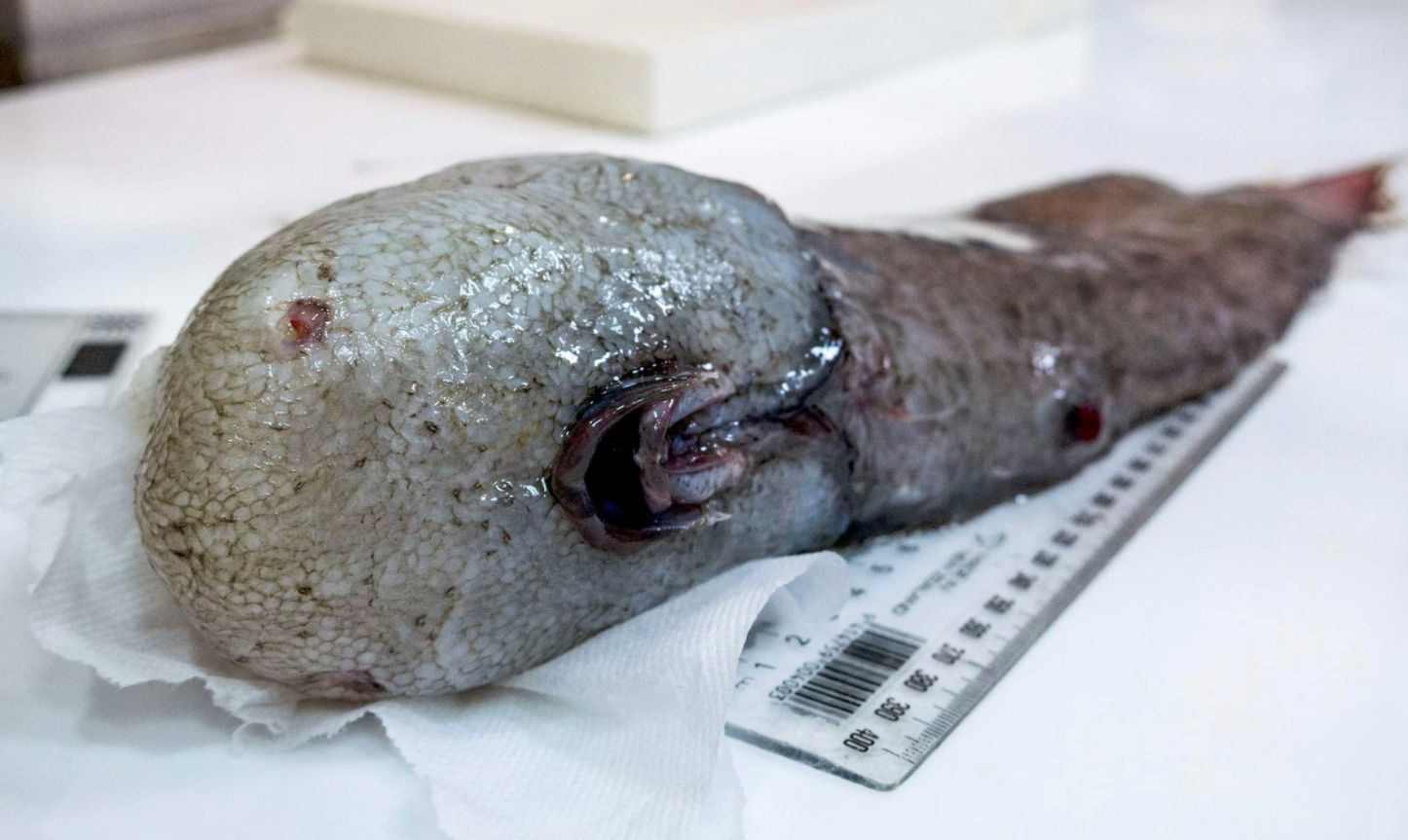 Researchers Find Bizarre Faceless Fish Missing For Over A