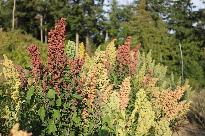 A field of flowering quinoa.