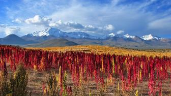 Beautiful shot of Quinoa fields with snowy mountains at back and cloudy sky in Chile.