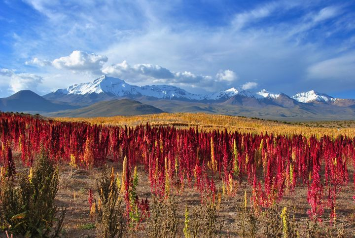 A field of ready-to-harvest quinoa.