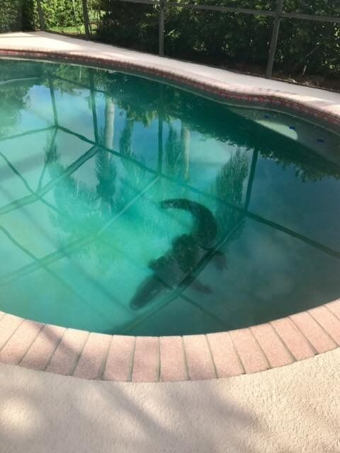 This 7-8-foot-long gator was found bathing in a southwest Florida swimming pool on Monday