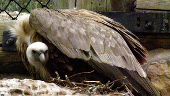 Yehuda, an 18-year-old Griffon vulture, sits protectively on his nest after a 12-hour-old chick was placed in his care March 22. The chick, named for local basketball star Kenny Williams, was hatched in an incubator as part of an international program to reintroduce the birds, which face extinction in the region, into the wild. Both Yehuda and his mate are male Griffons, the only known case of a homosexual pairing according to an expert, who successfully reared a chick under similar circumstances last year. **DIGITAL IMAGE**