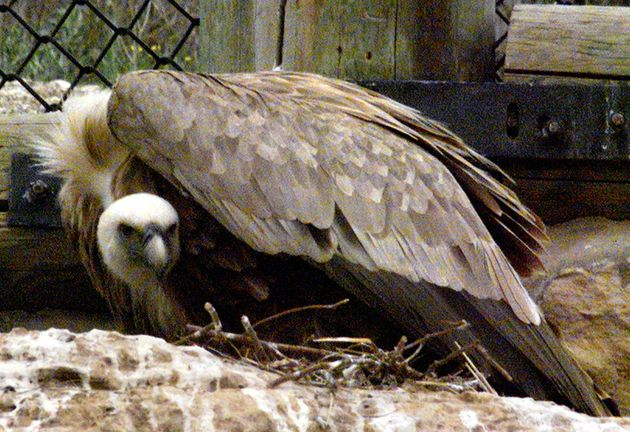 Yehuda, an 18-year-old Griffon vulture, sits protectively on his nest after a 12-hour-old chick was placed...