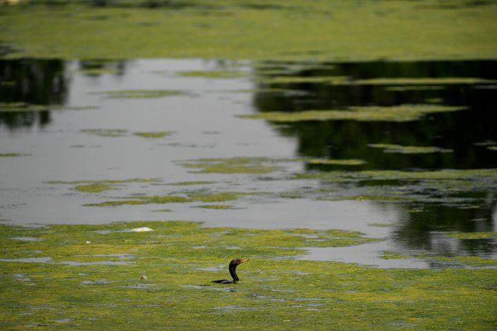 A bird swims through green algae near Ferril Lake in Denver, Colorado. Algal blooms, when toxic, can devastate local economies and the problem appears to be growing.
