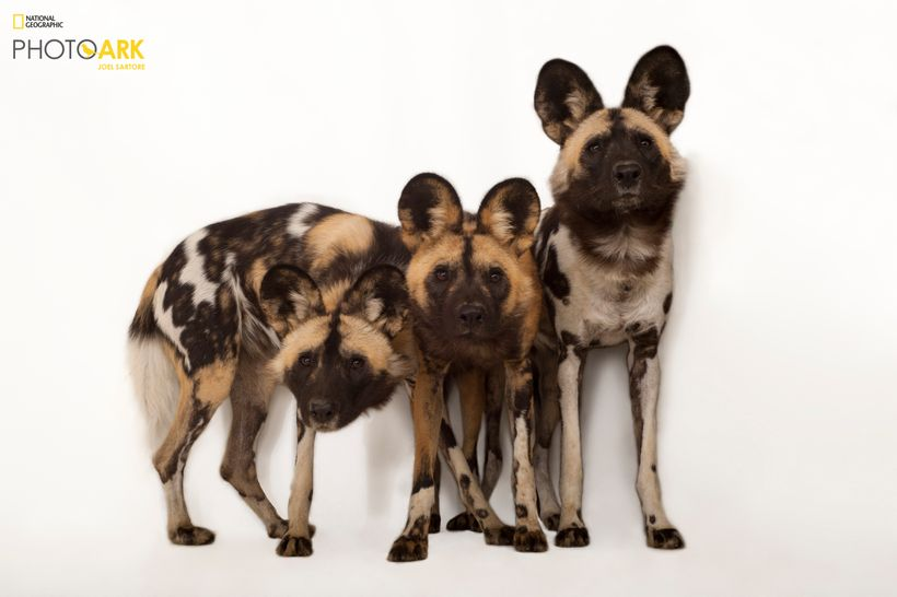African wild dogs photographed at Omaha's Henry Doorly Zoo and Aquarium in 2011 // STATUS: ENDANGERED