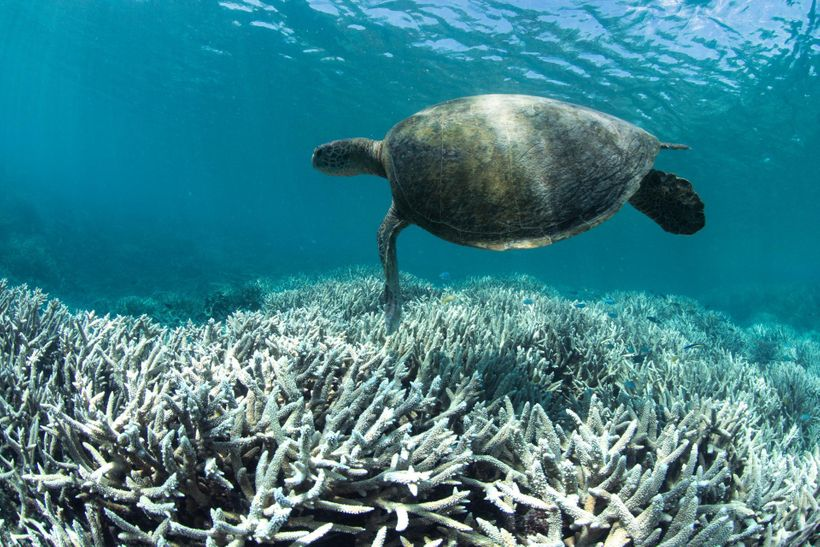 Sea turtle swimming over bleached coral at Heron Island
