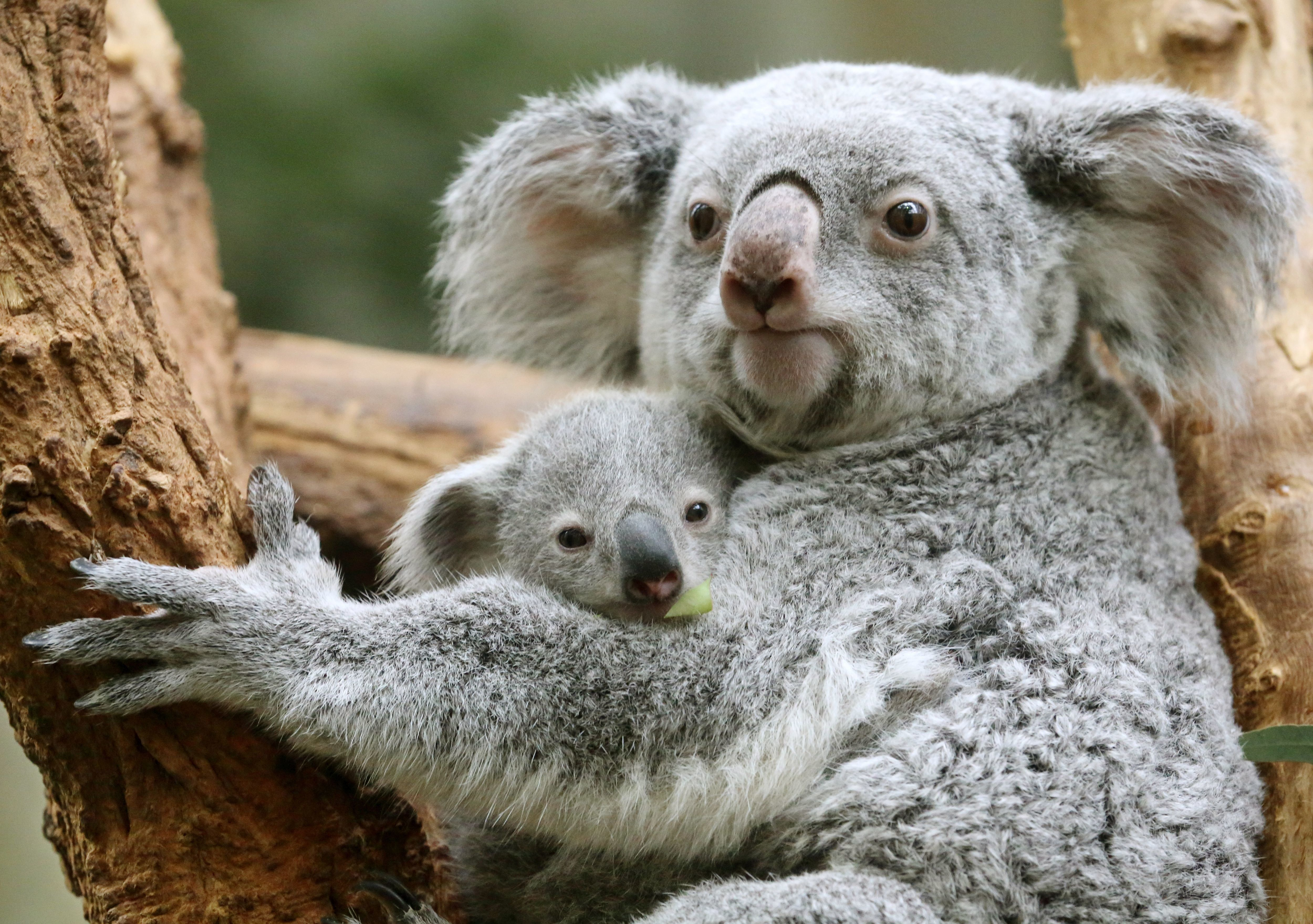 Battle To Save Koalas In Australia Has Serious Unintended Consequences