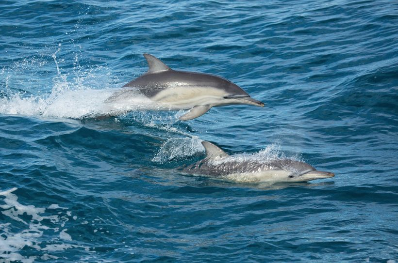 Bottlenose dolphins are sentient and just like people, they enjoy having fun. A couple bottlenose dolphins breaching along si