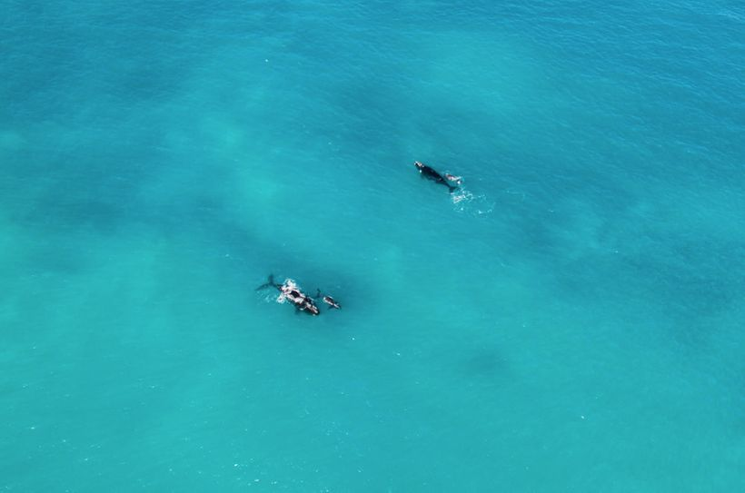 Right whales are the rarest of all the large whales. Females are larger than males, reaching 55 feet long and weighing an imp