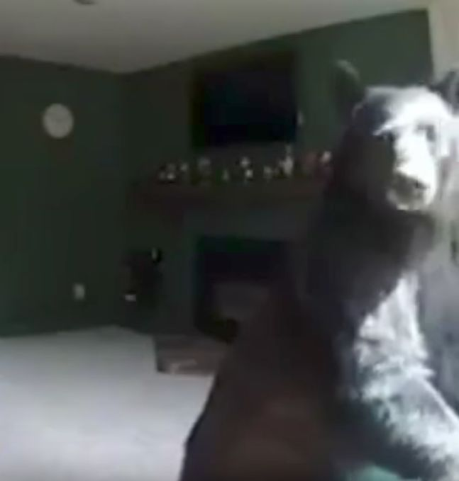Bear Breaks Into Home And Proves He's No Billy